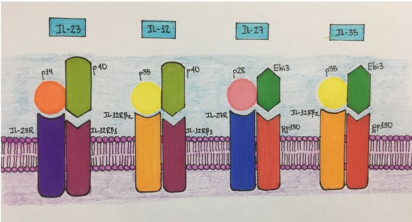 Figura 1 - Revista Argentina de Dermatología - Tras los pasos de la Interleucina-23. Su papel en la Psoriasis